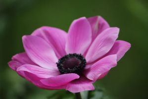 Pink Poppy by Ayame6464