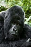 Mountain Gorilla by catman-suha