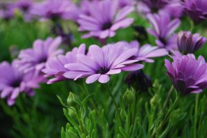 violet purple flower stock by amka-stock