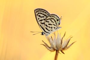 Little Tiger Blue by lisans