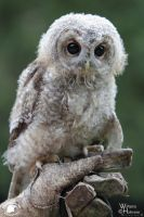 2011-103 Tawny Owl by W0LLE