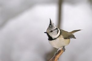 Crested Tit RS by Dunadan-from-Bag-End