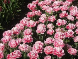 Flower: Pink field of tulips by Lsr-stock
