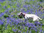 Penny in Bluebells by palominodweezil