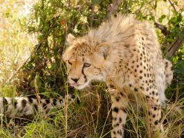 Cheetahmother by jambo83
