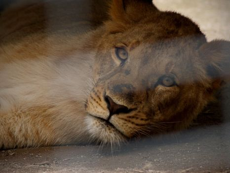 African Lion 7. by purevintage