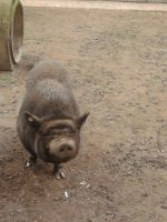Potbellied Pig 001 by xSofticatious