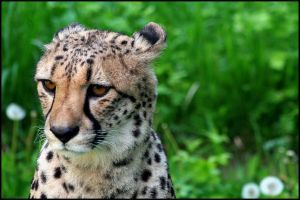 Cheetah by AF--Photography