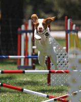 AKC Agility Trial 11 by Deliquesce-Flux