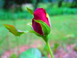 Rose Bud by Rachelgravesart