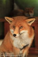 Red Fox by twilliamsphotography