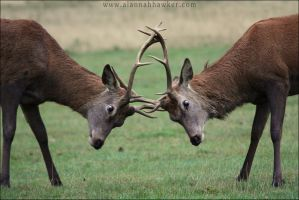 Stag Rut by Alannah-Hawker