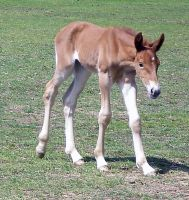 10 Suffolk Punch Filly Awkward by chaotezy
