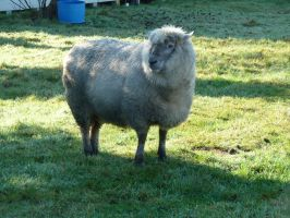 Sheep 1 by raindroppe