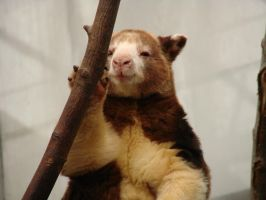 Yes, I'm cute - Tree Kangaroo by roamingtigress
