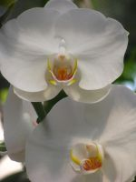 White Orchids by Himmelmeere