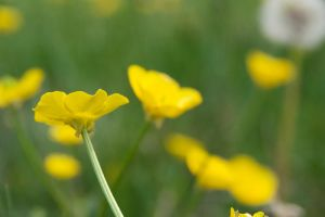 Buttercup 1 by aaronius