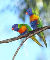Rainbow Lorikeets by Firey-Sunset