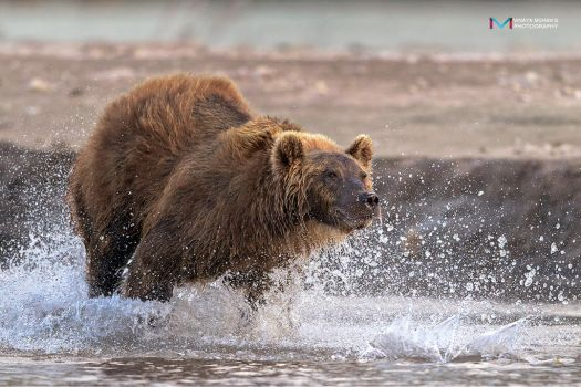Bear in Action 1 by vinayan