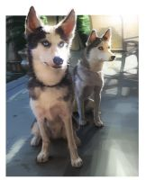 huskies by Echilo