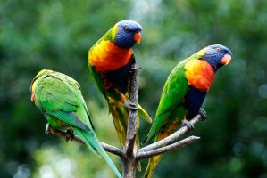 Parrot birds by alexbolt-bh