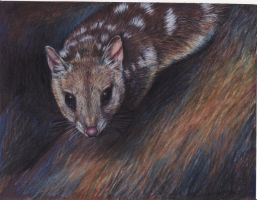 Eastern Quoll by afiriti