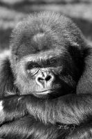 Gorilla by EliseJ-Photographie