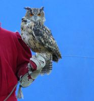 stock Uhu - eagle owl on hand by Nexu4