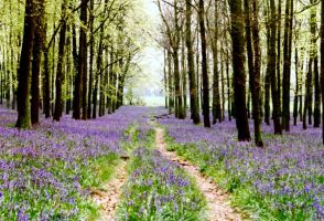Bluebell Track by blackgarden