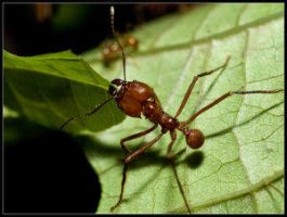 Leaf-Cutter Ants at Work 1 by Insect-Lovers-Club