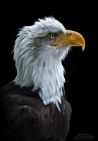 Sentinel - Bald Eagle by bnolin