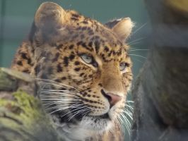 Landgoed Hoenderdaell - North China leopard by SSJGarfield
