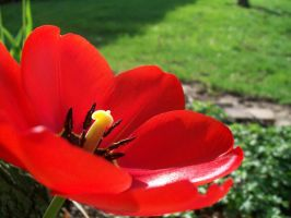 Red Tulip by DominosAreFalling