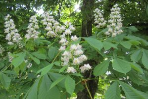 Horse Chestnut in Bloom by zypherion