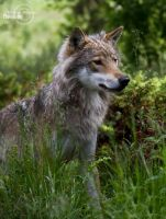Wolf by MartinePersson