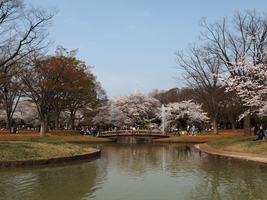 Cherry Blossoms by L-Spiro