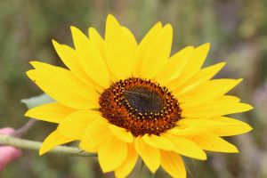 Sunflower Stock 03 by Malleni-Stock