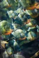 Piranha... by WillCook