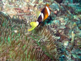 Clown Fish part III by Haufschild