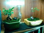 Gensing and Golden chain bonsai trees by Bane-Skyewillow