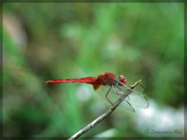~ Red Dragonfly 1 ~ by soumya-digi