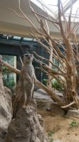 A day at 'Schoenbrunn Zoo' - Meerkat 2 by Xris777