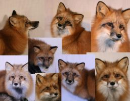 live red fox reference pics by foxycreationsgallery