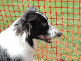 border collie 2 by Jupiter-Foxclaw