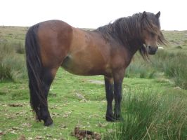 Dartmoor pony stock by ierpier