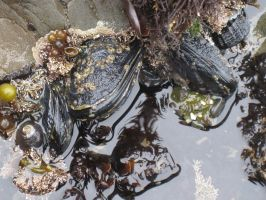 Tide Pool Mussels by yeaboikat