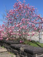 Japanese Magnolia tree by CotyStock