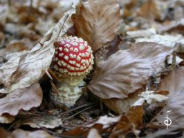Autumn Amanita by myceliae