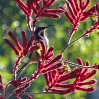 Eastern Spinebill. by me-and-mojo