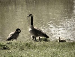 Canada goose family by twistedcreaturesart